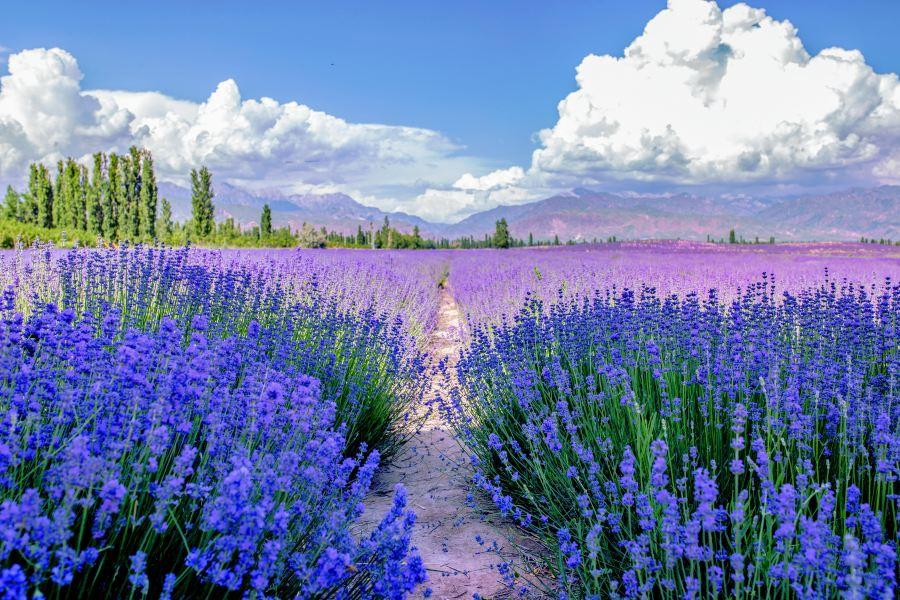 霍城薰衣草旅游景点图片