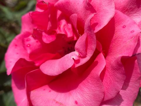 Berkeley Municipal Rose Garden旅游景点图片