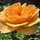 Berkeley Municipal Rose Garden
