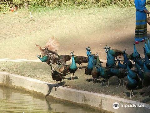 西双版纳孔雀园的图片